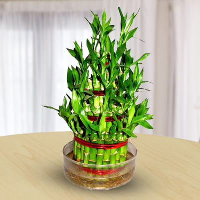 Lucky Bamboo oxygen plant